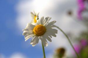 854551 daisies  1