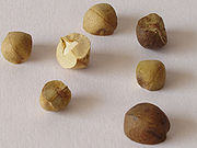 180px-Jumping_beans_12